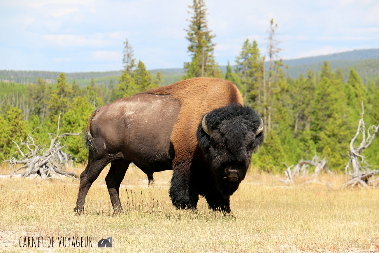 bison biscuit basin yellowstone