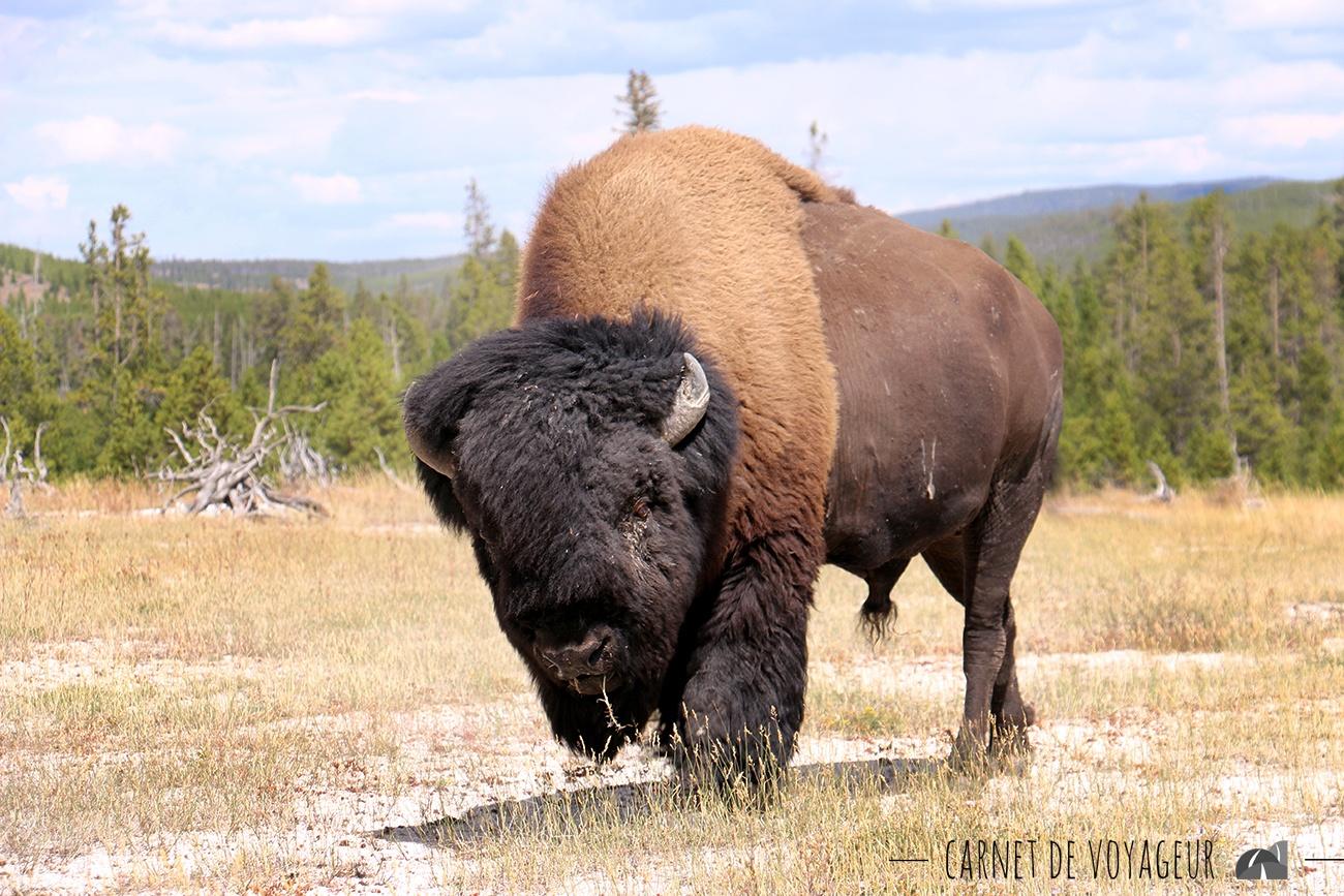 bison biscuit basin